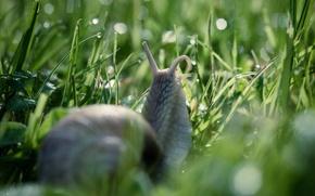 Картинка трава, капли, макро, природа, роса, улитка, боке