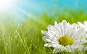 Картинка зелень, белый, трава, цветы, желтый, фон, widescreen, обои, лепестки, ромашка, луг, wallpaper, широкоформатные, background, полноэкранные, ...
