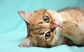 Картинка кот, лапа, рыжий