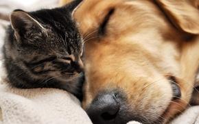 Обои дружба, сон, пес, кот