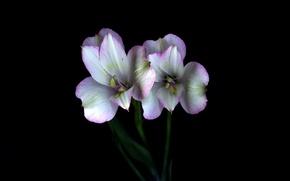 Картинка свет, цветы, тень, лепестки, стебель, пара