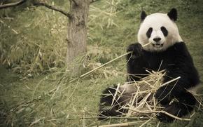 Картинка природа, бамбук, панда