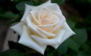 Картинка белый, цветок, роза