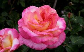 Картинка розовая, роза, Pink, цветение, Roses, color