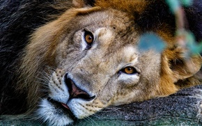 Картинка кошка, взгляд, хищник, лев