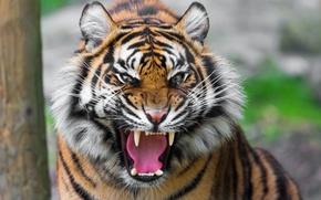 Обои пасть, тигр, хищник, оскал