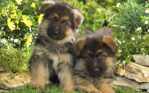 Картинка щенки, малыши, немецкая овчарка, две собаки
