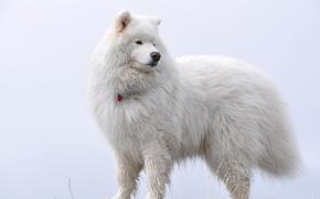 Картинка пушистый, пёс, самоед, White on white