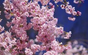 Обои макро, сакура, вишня, цветы