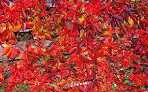 Картинка осень, листья, ковер, багрянец