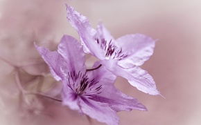 Обои цветы, макро, Clematis