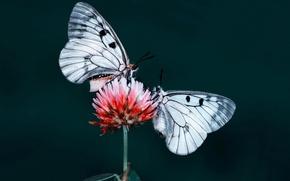Картинка цветок, бабочки, природа, насекомое, мотылек