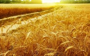 Картинка дорога, пшеница, поле, солнце, лучи, пейзажи, колоски, золотые, Golden field