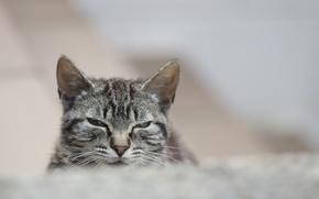Картинка кошка, кот, взгляд, серый, портрет, полосатый