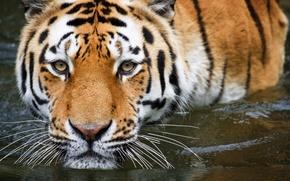 Обои купание, вода, тигр