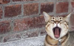 Обои кошка, усы, стена, зевает, морда, кирпич, нос, язык, кот