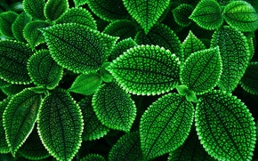 Картинка растения, контур, листочки, пиловидный, зелёненькие