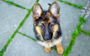 Картинка взгляд, Dog, German Shepherd