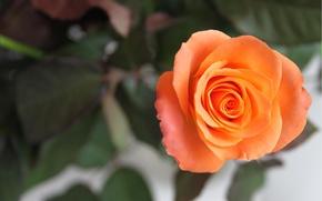 Обои цветок, роза, лепестки, стебель, макро