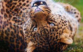 Обои усы, леопард, взгляд, играет, оскал, leopard, морда
