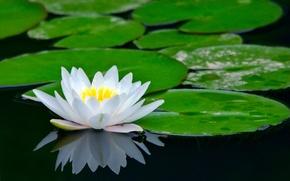 Картинка цветок, пруд, лотос, водяная лилия