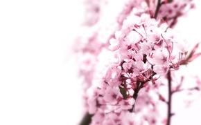 Картинка макро, фон, дерево, розовый, япония, сакура