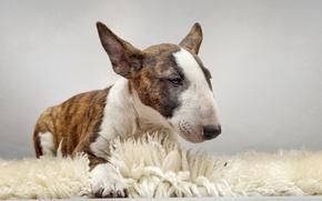 Картинка друг, собака, бультерьер