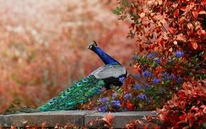 Картинка боке, цветы, хвост, павлин, птица