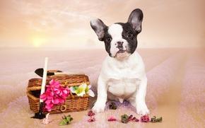 Картинка цветы, щенок, французский бульдог