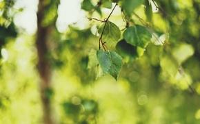 Обои зелень, лето, листья, природа, веточка, фокус, размытость, береза, боке