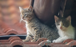 Обои котята, малыши, парочка
