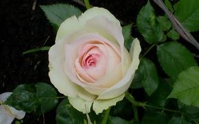 Картинка цветок, розовый, Роза