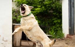 Картинка животное, собака, зубы, шерсть, двор, цепь, оскал, зло, будка, лайка, дача, лай, голос