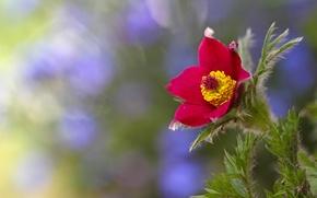 Картинка цветок, красный, фон, размытость