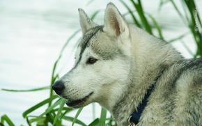 Картинка фон, собака, хаск