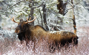 Картинка зима, лес, снег, кусты, лось