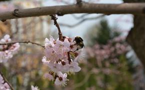 Картинка пыльца, медонос, пчела, весна, цветение