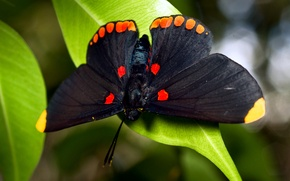 Картинка бабочка, листва, большая, чёрная