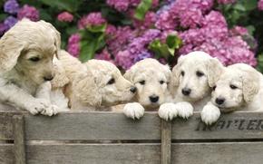 Картинка собаки, цветы, щенки, ящик, гортензия, обои от lolita777