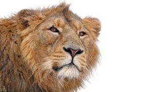 Обои усы, морда, хищник, лев, грива, смотрит, на белом фоне, lion, молодой, panthera leo