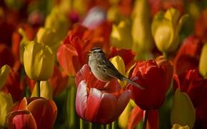 Картинка цветы, стебли, flowers, пение, stalks, singing, белой шапкой воробей, white-crowned sparrow