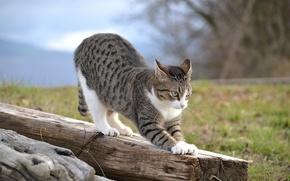 Картинка кошка, кот, природа, доска, бревно, потягивается