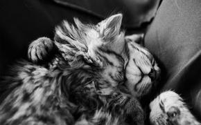 Картинка сон, котята, черно-белое, мех, спят, монохромное
