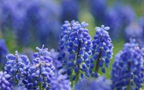 Обои цветы, сиреневые, мускари, фокус, макро