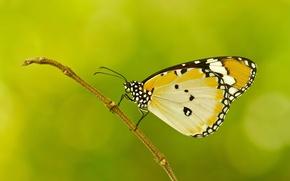 Обои веточка, узор, бабочка, растение, крылья, мотылек