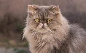 Обои взгляд, пушистый, персидская кошка, кот
