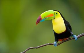 Картинка природа, тропики, фон, птица, джунгли, тукан, animals, nature, боке, восточная, провинция, Индонезии, Ява, travel, wallpaper., …