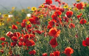 Обои поле, желтые, Маки, красные, другие цветы