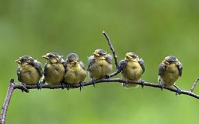 Картинка птицы, природа, цвет, ветка, перья, лазоревка