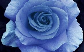 Картинка макро, роза, лепестки, голубая